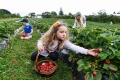 Ryley Stephen, Amber Stephen and Chloe Stephen picking strawberries at Blue Hills Berries & Cherries.