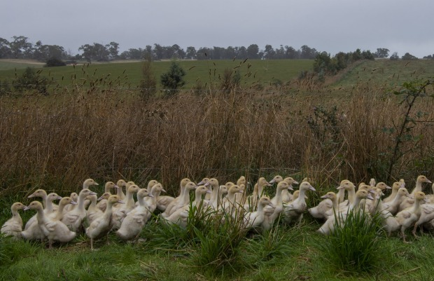 Ducks at the Tathra Place Free Range family-run farm, who sell ducks to restaurants such as Quay and Aria.