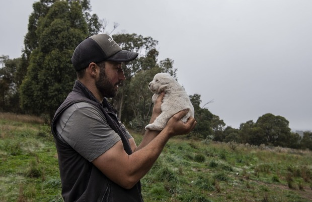 Luke with a Maremma puppy that was bred to guard the Bresse chickens at Tathra Place Free Range farm.