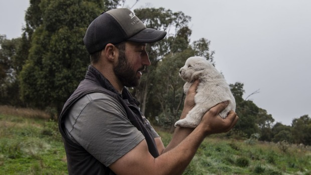Luke Winder with a Maremma puppy bred to guard chickens and ducks at his family farm.