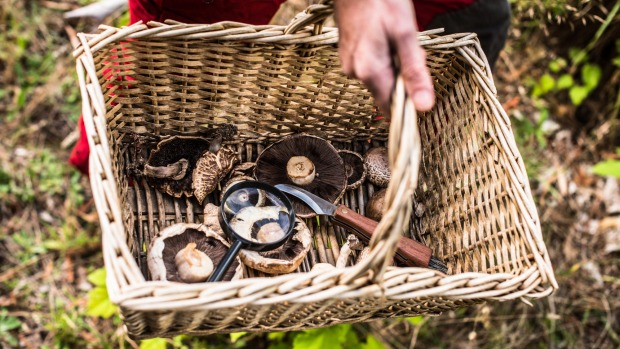 In their crusade to fill a basket, Australian foragers may harvest mushrooms carrying bacteria that can cause food poisoning.