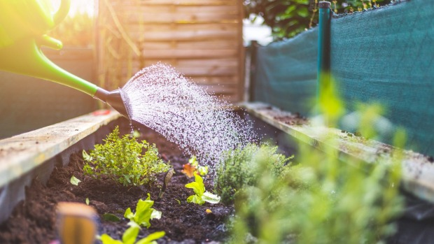 Watering vegetables and herbs in raised bed. Fresh plants and soil. Kitchen garden generic - tomatoes, greens, strawberries in net, sweet potatoes iStock
