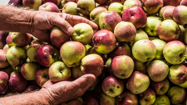 Cider apples at harvest time in Learmonth.