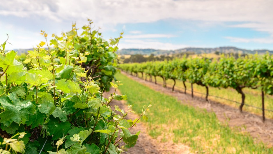 The Barossa is a place whose name is synonymous with dark, rich, ripe, voluptuous shiraz wines.