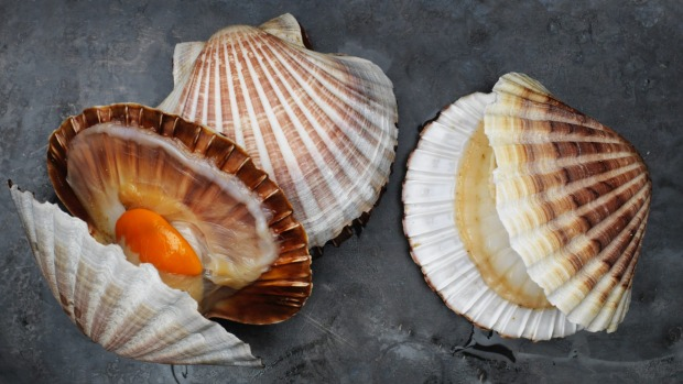 Commercial scallops from Victorian waters.