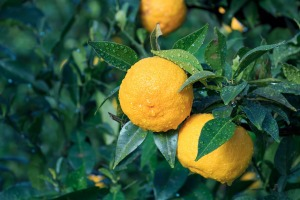 Yuzu is very fragrant and used in cooking for zest, peel, and very sour juice.
