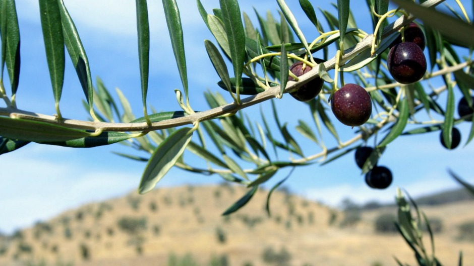 Australian growers produce about 20,000 tonnes of olive oil a year.